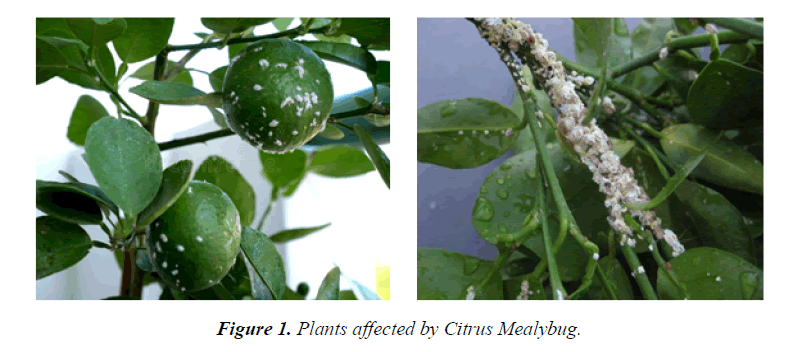 agricultural-science-botany-Citrus-Mealybug