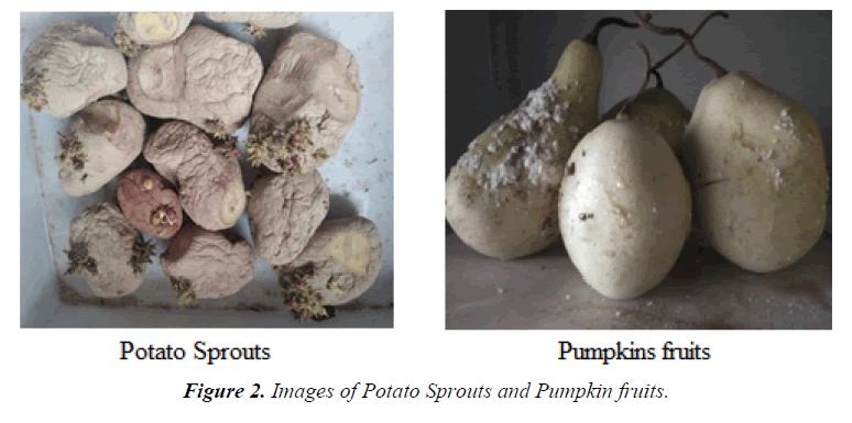 agricultural-science-botany-Pumpkin-fruits
