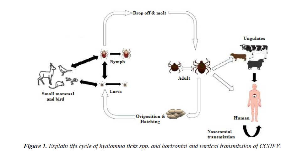 bacteriology-infectious-diseases-hyalomma-ticks-spp