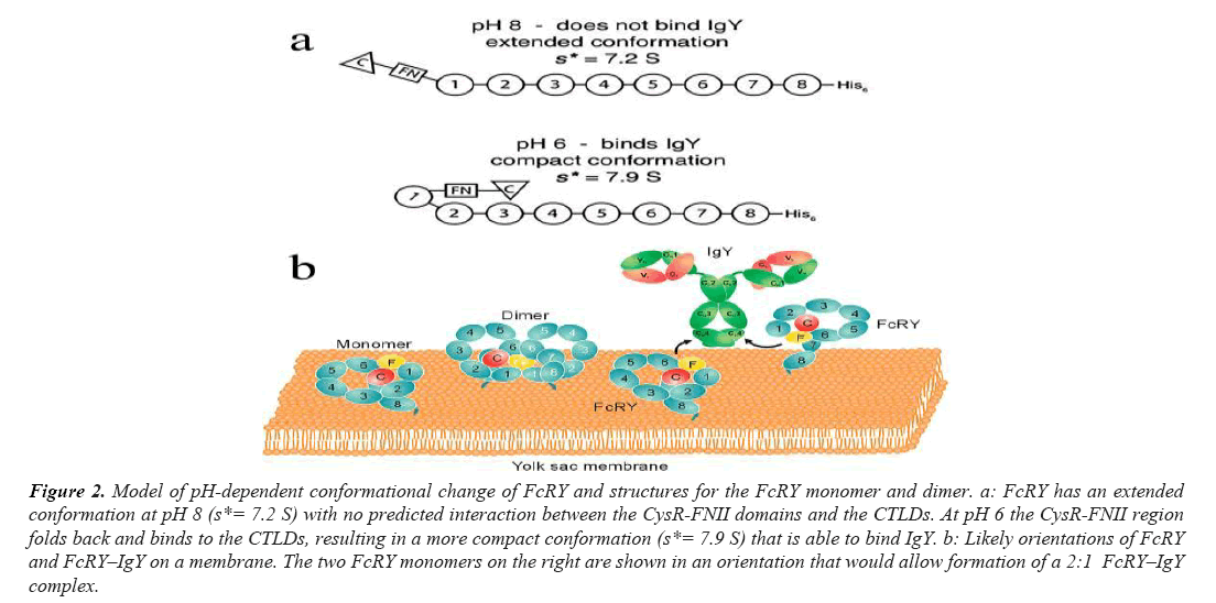 biomedical-imaging-FcRY-monomer