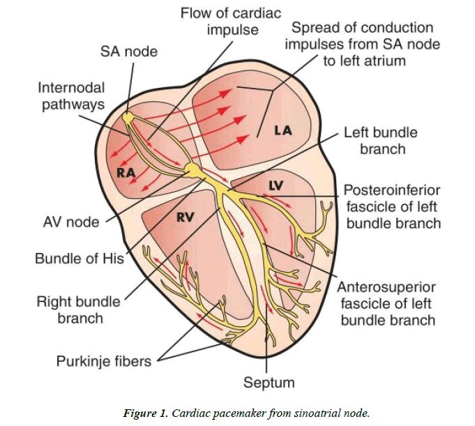 cardiovascular-medicine-therapeutics-sinoatrial