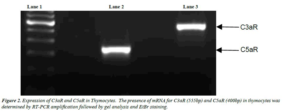 clinical-pathology-laboratory-medicine-Expression-C3aR-C5aR-Thymocytes