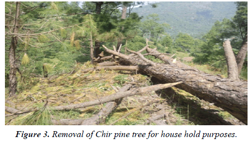 environmental-risk-assessment-Removal-Chir-pine-tree