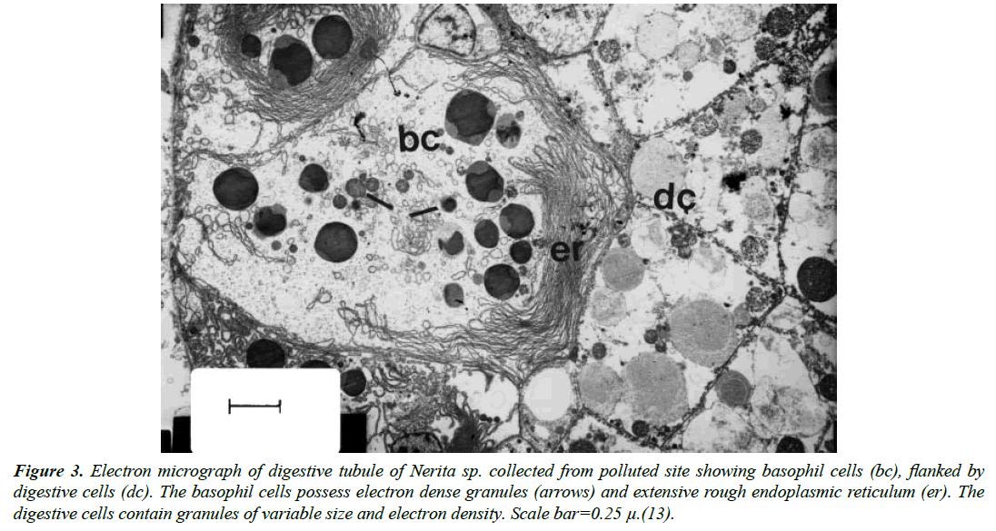 environmental-risk-assessment-basophil-cells-possess