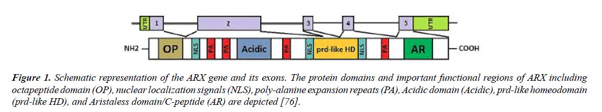 genetics-molecular-biology-ARX-gene