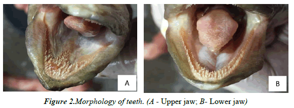 journal-fisheries-research-Upper-jaw