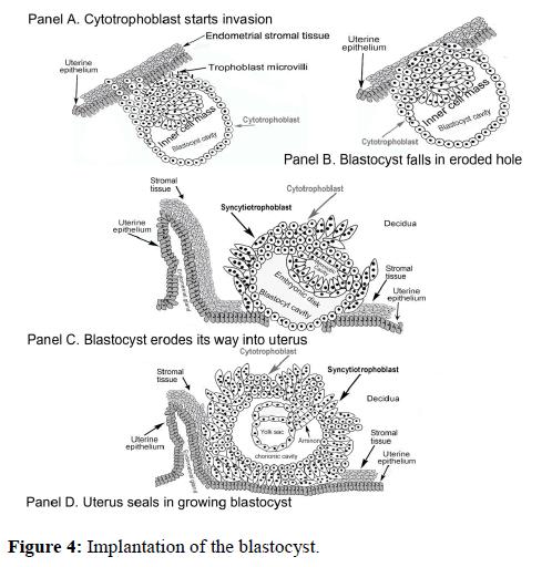 molecular-oncology-Implantation-blastocyst