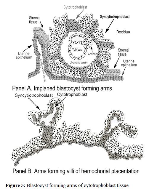 molecular-oncology-cytotrophoblast-tissue