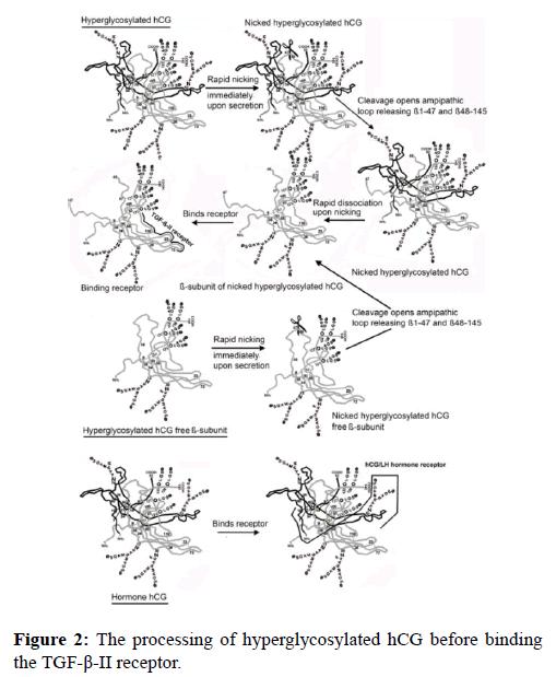 molecular-oncology-hyperglycosylated-binding