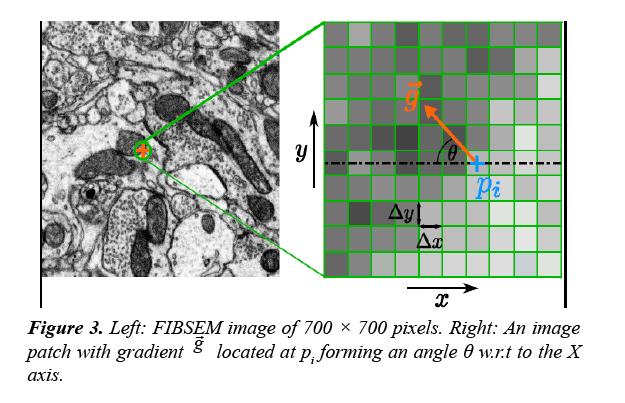 neuroinformatics-neuroimaging-FIBSEM-image