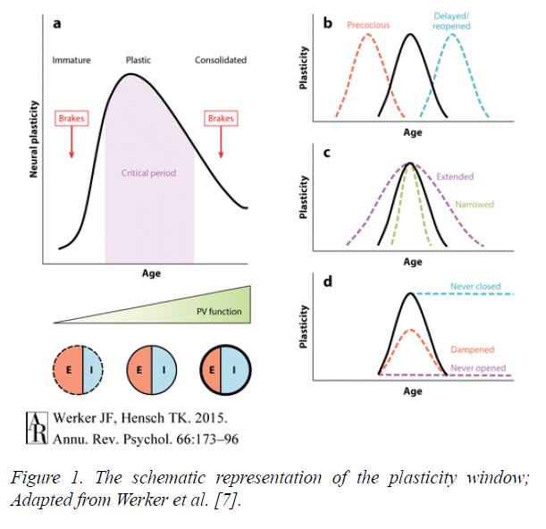 neuroinformatics-neuroimaging-plasticity-window