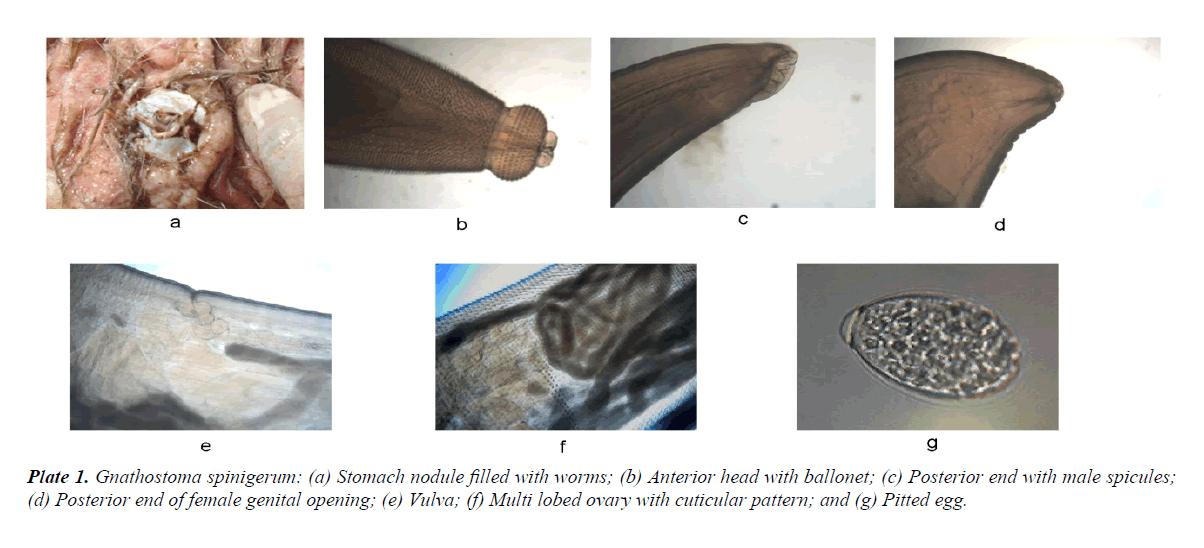 parasitic-diseases-diagnosis-therapy-Gnathostoma-spinigerum