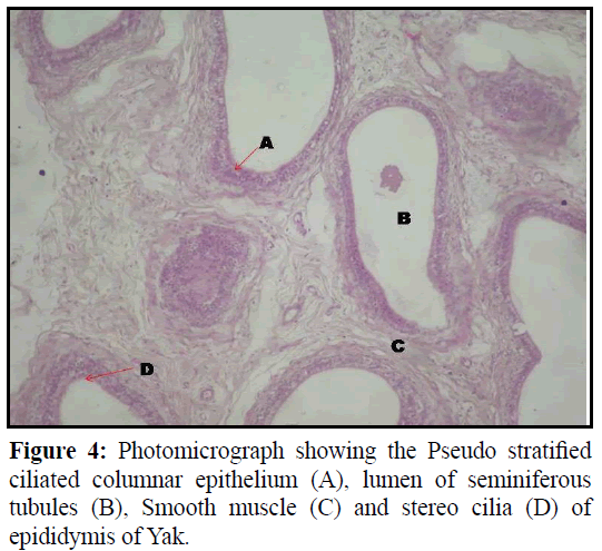 pure-applied-zoology-Smooth-muscle