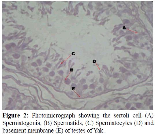 pure-applied-zoology-Spermatocytes