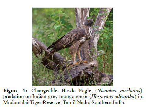 pure-applied-zoology-mongoose