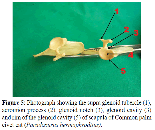 pure-applied-zoology-supra-glenoid