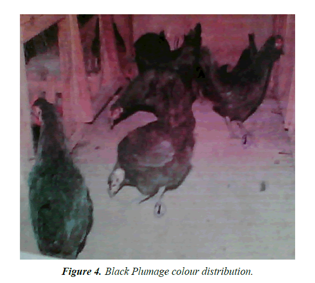 research-reports-genetics-black-plumage