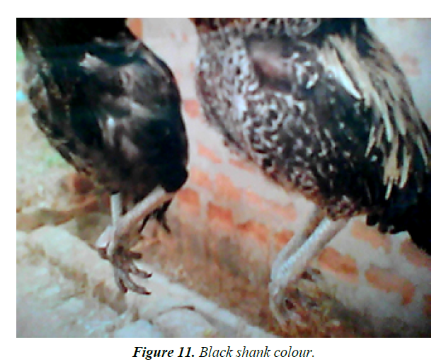research-reports-genetics-black-shank-colour