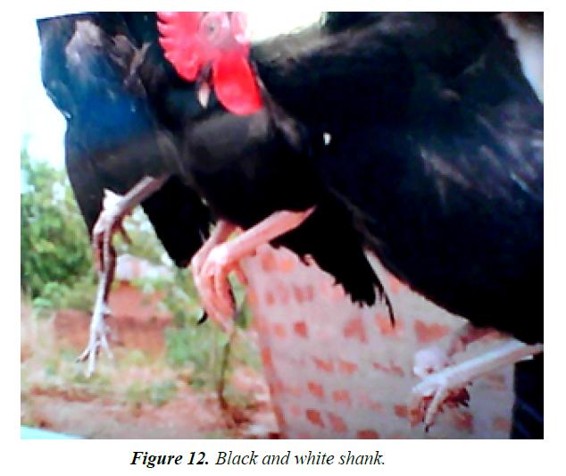 research-reports-genetics-black-shank-colour