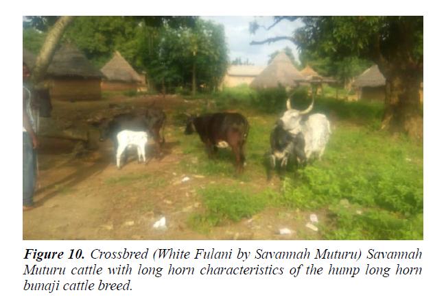 research-reports-genetics-bunaji-cattle-breed