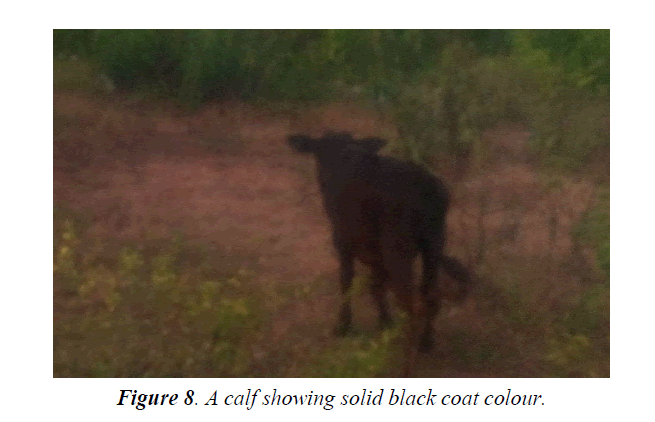 research-reports-genetics-calf-showing