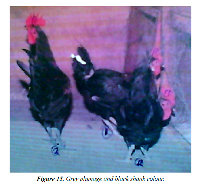 research-reports-genetics-grey-plumage