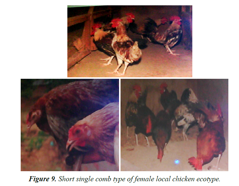 research-reports-genetics-local-chicken-ecotype