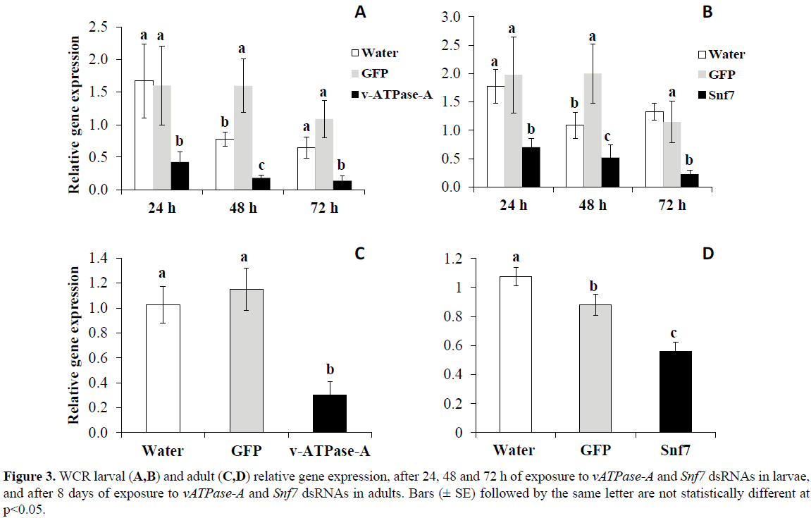 rnai-and-gene-silencing-WCR-larval