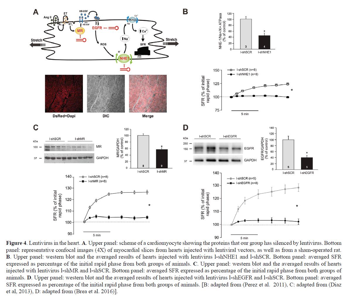 rnai-gene-silencing-myocardial-slices