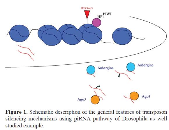 rnai-gene-silencing-piRNA-pathway