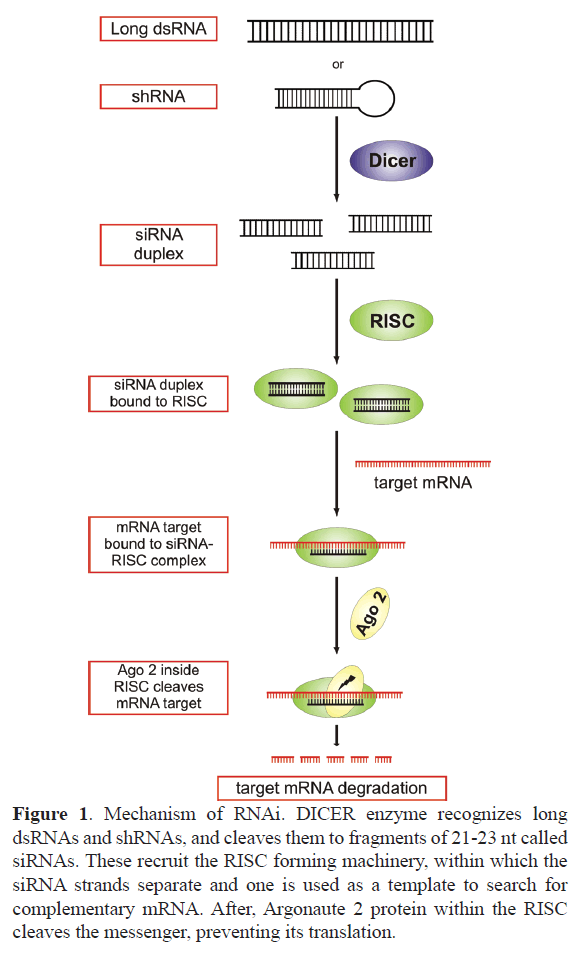rnai-gene-silencing-preventing-translation